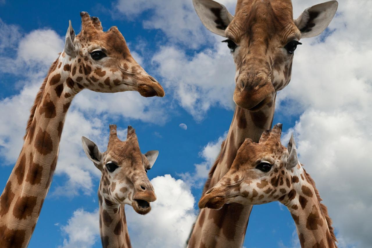 Giraffentanz